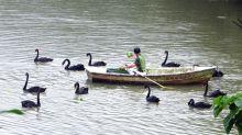 候鳥動物園避冬 黑天鵝貪嘴搶食