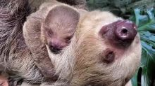 Baby Sloth Spends Summer Day Snuggling With Mom at Rhode Island Zoo