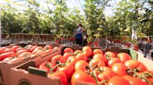 AppHarvest Announces First Harvest of Tomatoes on the Vine from High-Tech Morehead Farm Shipping to Grocery Stores