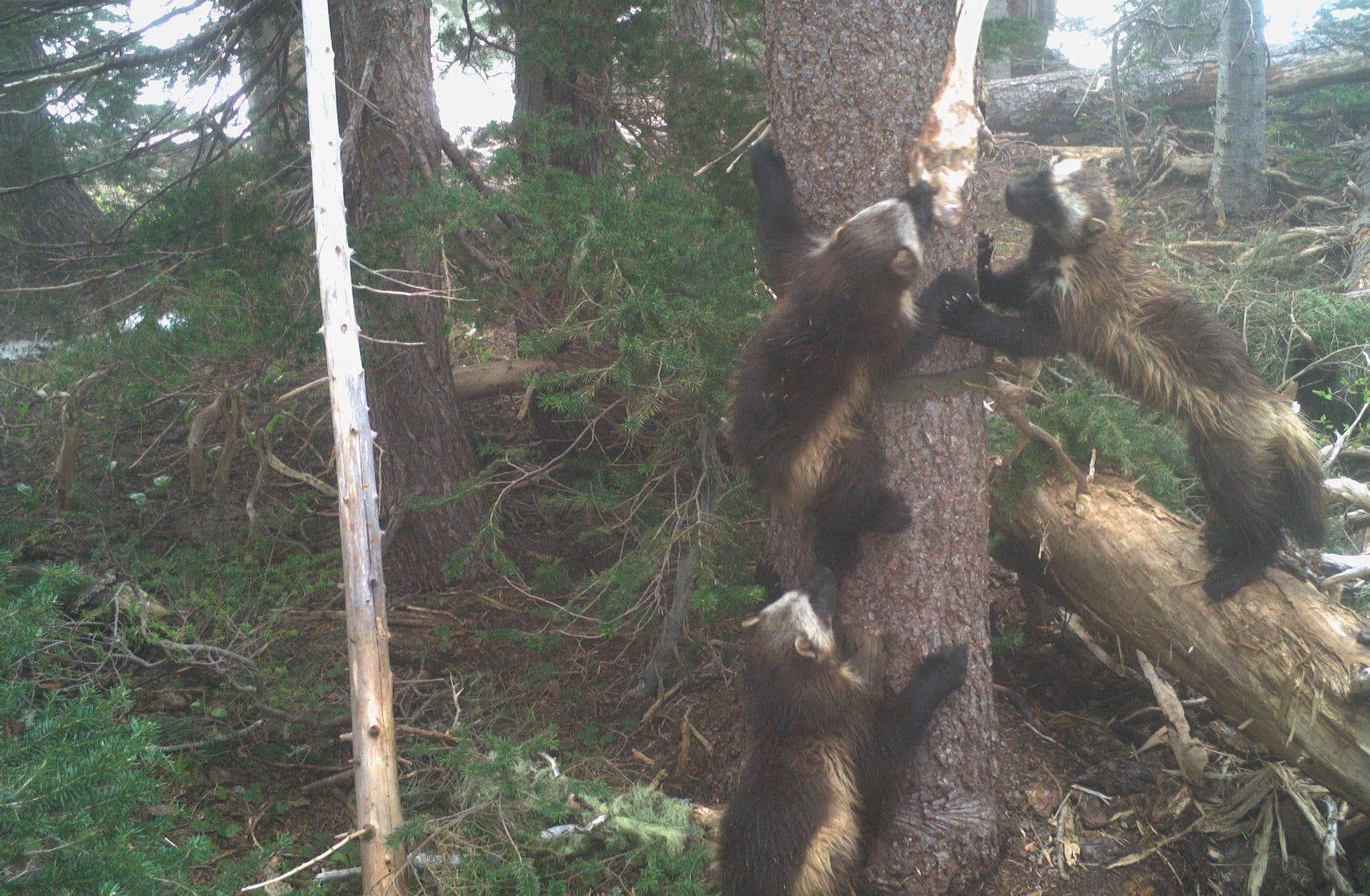 Wolverines spotted at Mount Rainier National Park for the first time in over 100 years
