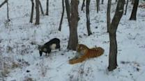 A brave goat becomes friends with a tiger
