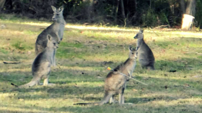 Hunt for 'cruel' shooter after kangaroo found with arrow in its back