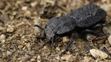 The diabolical ironclad beetle can survive getting run over by a car. Scientists now know how.