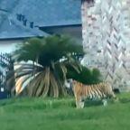 Tiger found roaming Houston neighborhood