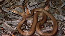 Australian killed removing brown snake from his house