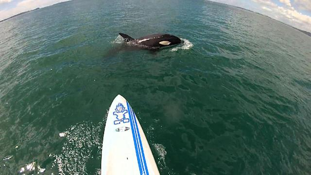 Paddle Boarder Gets Surprise Visit From Killer Whales