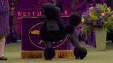 Westminster Kennel Club Dog Show: Night 1 recap