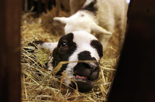 Research spat turns a GM lamb with jellyfish DNA into lunch
