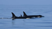 Killer whale that spent 17 days 'mourning' its dead calf gives birth again