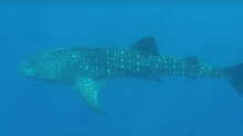 Whale Shark Casually Swims Past Queensland Park Ranger