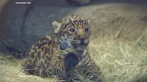 Baby Jaguar Debuts At San Diego Zoo