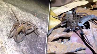 Spider and lizard tussle in amazing video