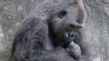 Tiny critically endangered gorilla baby born in New Orleans