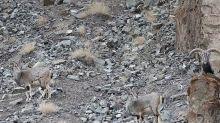 Espectacular camuflaje de un leopardo preparado para atacar a unas cabras
