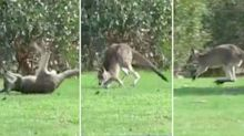 Disturbing footage shows 'drunk' kangaroo in field