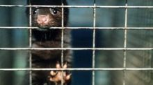 Met admits police spy's role in mass release of mink by protesters