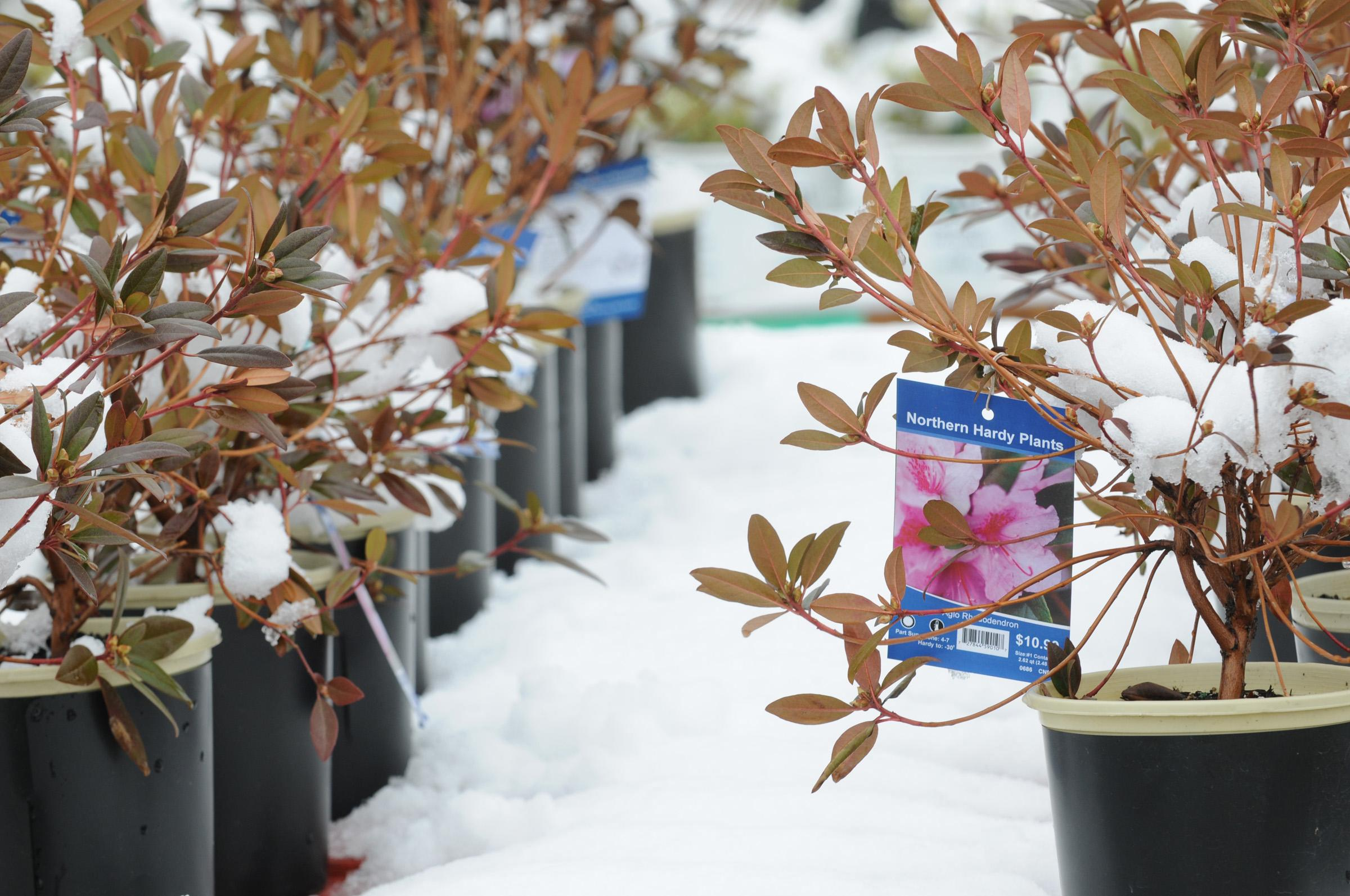 FILE - In this Friday, May 2, 2013 file photo, rhododendrons at the Garden Center of Cub Foods in Stillwater, Minn. are covered in snow after an early May snowfall. The jet stream's odd meanderings kicked off May with upside-down weather: early California wildfires fueled by heat contrasted with more than a foot of snow in Minnesota. Seattle was the hottest spot in the nation one day, and Maine and Edmonton, Canada were warmer than Miami and Phoenix. (AP Photo/St. Paul Pioneer Press, Jean Pieri)