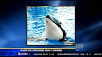 Injured orca performing again at SeaWorld