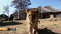 Cute Alert: Lion cub triplets debut in South Africa zoo