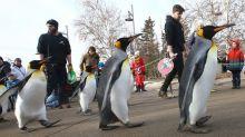 """Le zoo de Calgary annule sa """"Penguin Walk"""" parce qu'il fait trop froid"""