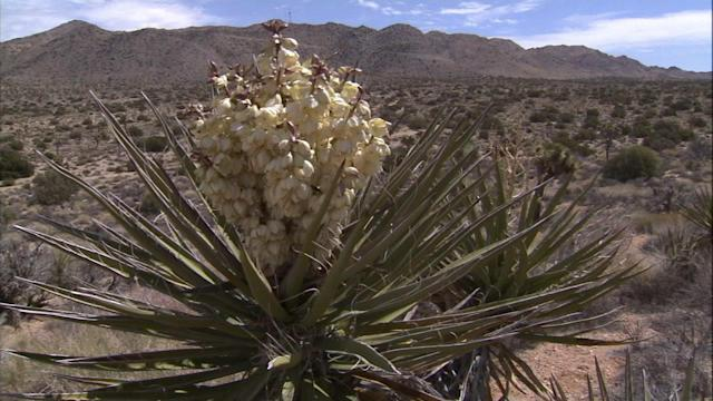 Joshua trees in rare bloom across the Southwest