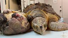 'We've never seen a tumor this big,' Florida Keys sea turtle rescuers say