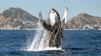 Young Humpback Whale Breaches To Say Hello