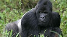 Covid is threatening Africa's gorilla trekking industry – but responsible tourism could be the cure