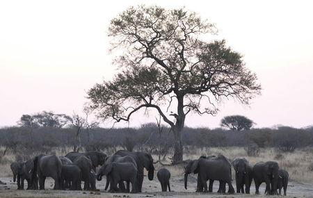 A herd of a elephants gather at a water hole in Zimbabwe's Hwange National Park