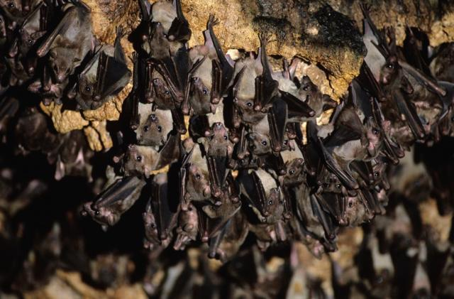 Machine learning is helping researchers decipher bat speech