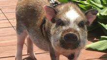 High-Flying Hog — Woman Travels with Emotional Support Pig