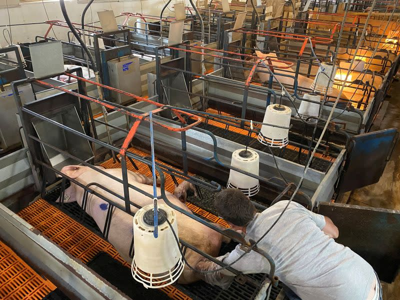 Farmer Ron Mueller helps a sow deliver a piglet on his farm in Cropsey