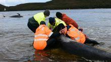 Neue Versuche zur Walrettung vor Tasmanien