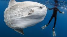 This 5,000-Pound Behemoth Is the World's Heaviest Bony Fish