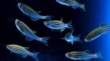 Una nueva hormona sexual en los peces podría ayudar en los tratamientos de fertilidad