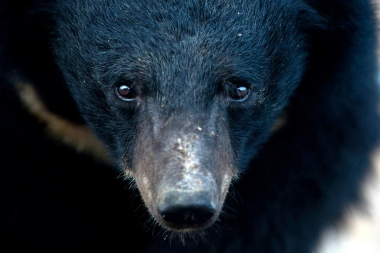 Activists say greenlighting bear bile as a treatment is 'both tragic and ironic' given the origin of the coronavirus is linked to the wild animal trade (AFP Photo/STR)