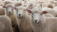 6,000 sheep trapped by early snow  in French Alps receive emergency rations