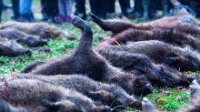 Afrikanische Schweinepest: Weiterer Fund bestätigt
