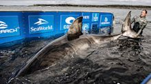 Monster 5.2-metre 'matriarch' great white shark caught