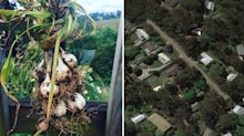 Staggering amount of garlic stolen from farm in mystery incident