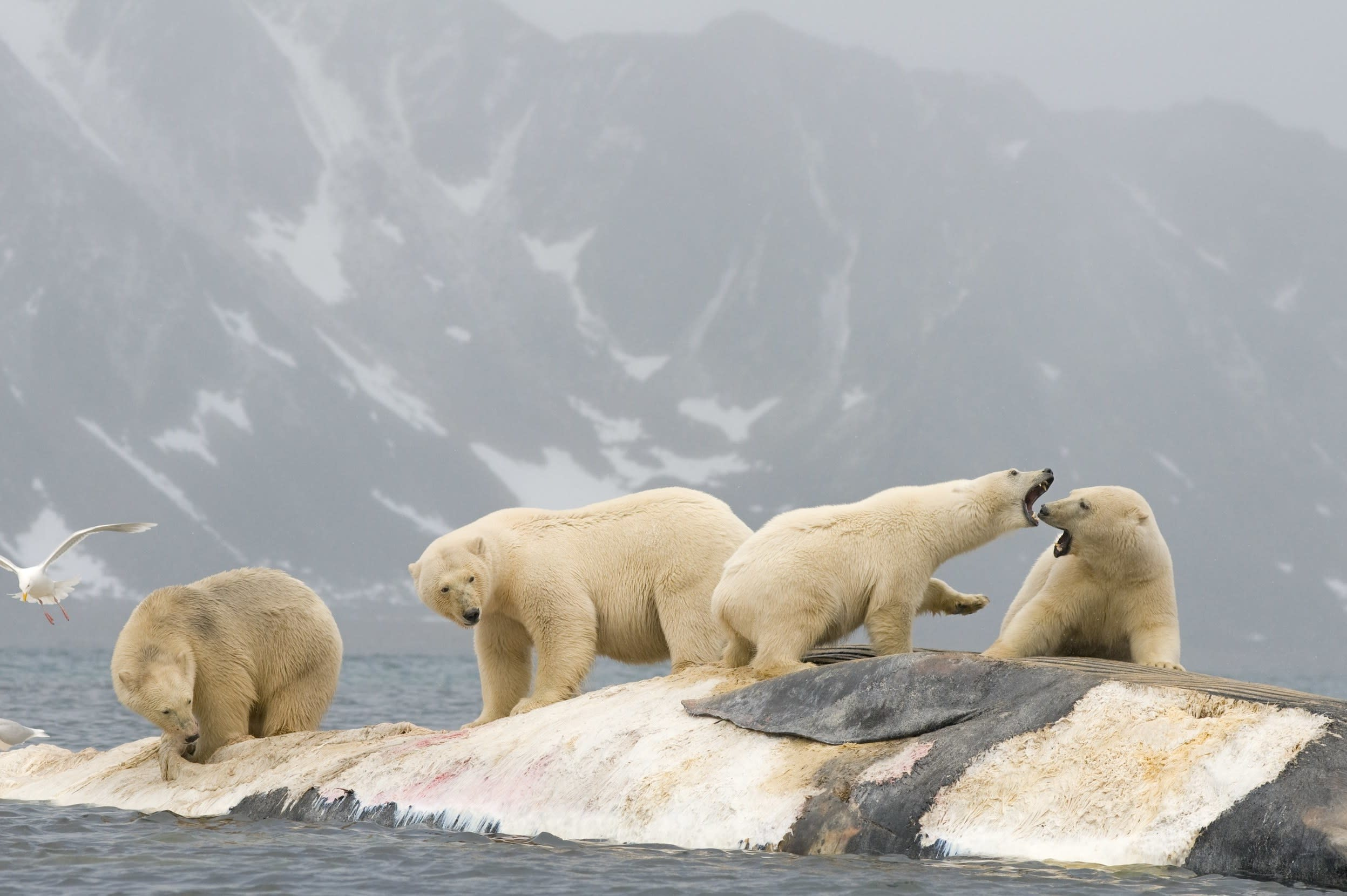 """<p>There are approximately 3,000 polar bears and just 2,642 people in the <a href=""""http://travel.aol.co.uk/guides/norway/"""" target=""""_blank"""">Svalbard</a> archipelago. A large number of polar bears are found on the surrounding islands east of Spitsbergen, yet you should be prepared to encounter one anywhere in Svalbard. As the world's largest land carnivores they are beautiful but dangerous and human encounters often have a fatal outcome. There are polar bear watching cruises which allow you to see the animals from a distance.</p>"""