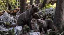 Brown bear that is killing livestock and startling hikers in Italy's Dolomites is wanted, dead or alive