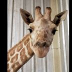 April the Giraffe's 19-month-old calf dies at Texas zoo: 'Unexpected and unpreventable'