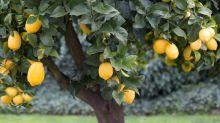After Its Earnings Stumble, Should You Buy Limoneira?