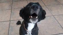 Dog hilariously whispers on command