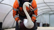 Swans are spinning in circles, bleeding from their nostrils, and collapsing dead amid an outbreak of avian flu in Europe