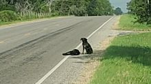 Tragic photos of dog protecting 'sister' left dead on roadside