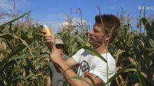 Rodrigo Hilbert colhe milho para receita e mostra que não conhece limites