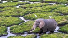 Descubren un gen que protege sobremanera del cáncer a los elefantes