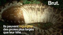 Comment les serpents avalent-ils leurs proies ? Ophiophobes, cette vidéo n'est pas pour vous